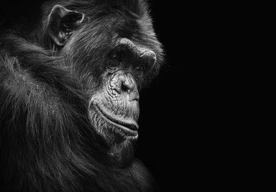 Gorilla Fotobehang 12713P8