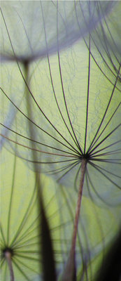Dandelions Deurposter Fotobehang 271VET