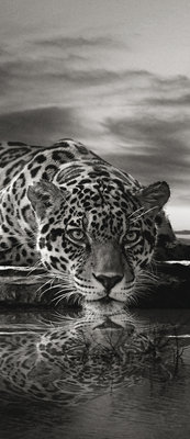 Creeping Jaguar in Black and White Deurposter Fotobehang 218VET