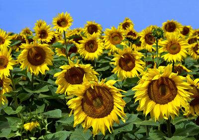 Zonnebloemen Fotobehang 12602P8