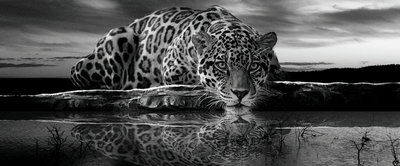 Creeping Jaguar in Black and White Panorama Fotobehang 218VEP