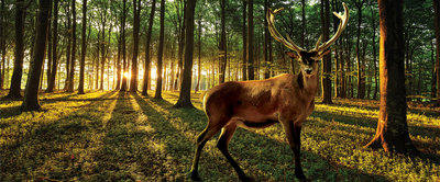 Deer in Sunny Forest  Panorama Fotobehang 3194VEP