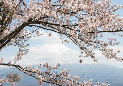 Cherry Blossom Fotobehang 11800P8