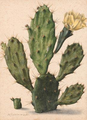 Rijksmuseum Bloeiende Vijgcactus Herman Saftleven RM41 (Met Gratis Lijm)