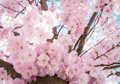 Cherry Blossom Fotobehang 13283P8