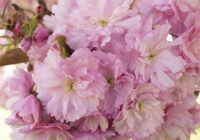 Pink flowers Fotobehang 13282P8